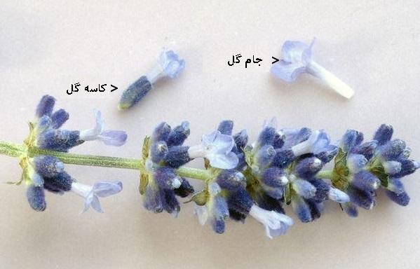 جام گل از قطعاتی به نام گلبرگ تشکیل می شود.شکل گلبرگ ها معمولا به صورت تیغه هایی باریک و به ندرت لوله ای است.کناره یا لبه ی گلبرگ ها اغلب کامل و گاهی حالت بریده و شرابه ای دارد.قاعده گلبرگ ها در بعضی از گیاهان مانند گل میخک و گل توری باریک و قلمی است.
