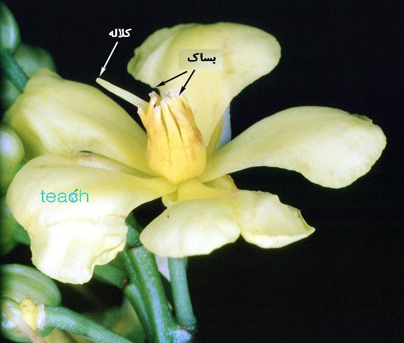 گرده افشانی گل های کرکوگام