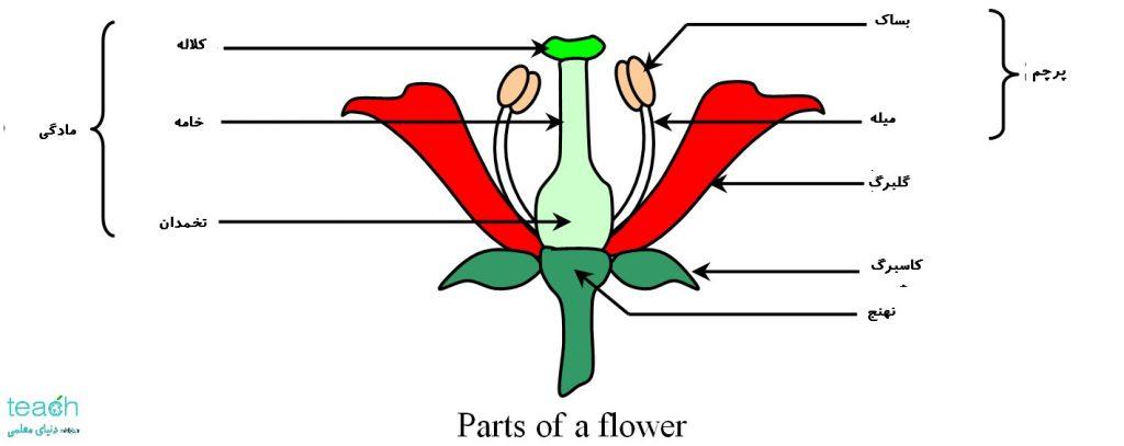 الف. گیاهان تالامی فلور(thalamiflore):در این گیاهان نهنج، حالت محدب دارد.مثال: گیاهان راسته آلاله