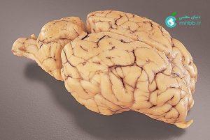 مغزی که به منظور بررسی و تشریح مورد استفاده قرار می گیرد ب