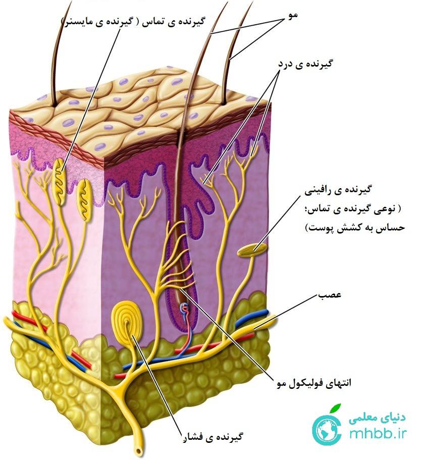 پوست ( انواع گیرنده ی حس )