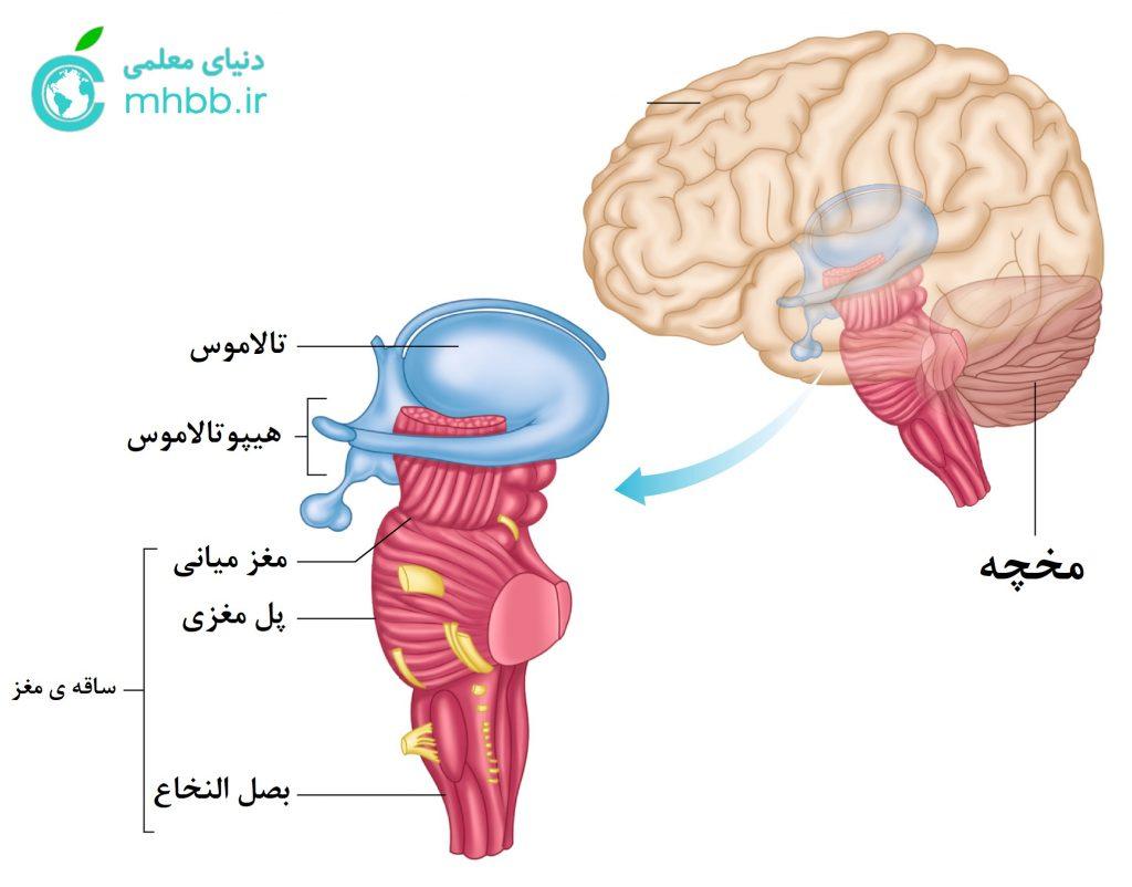اجزای مغز : ساقه ی مغز