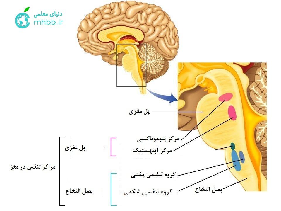 مرکز تنفس در بصل النخاع ( اجزای مغز)