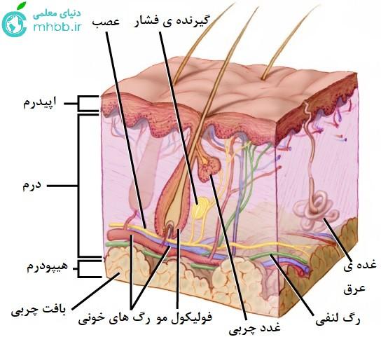 گیرنده های پوست
