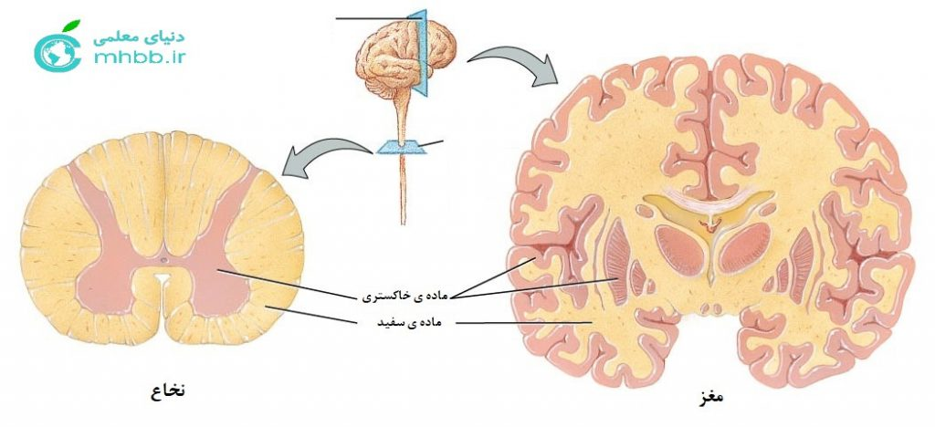 وضعیت ماده ی سفید و خاکستری در مغز و نخاع