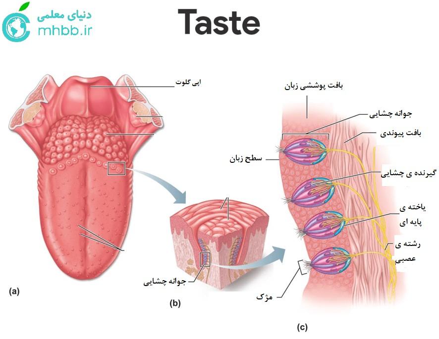 حس چشایی و زبان