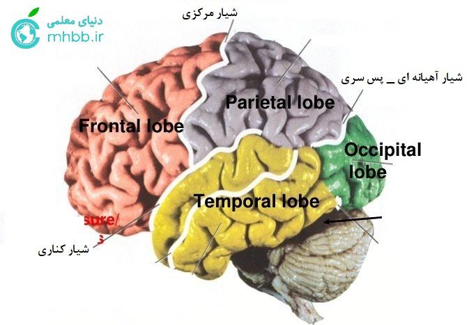 شیار های مغز