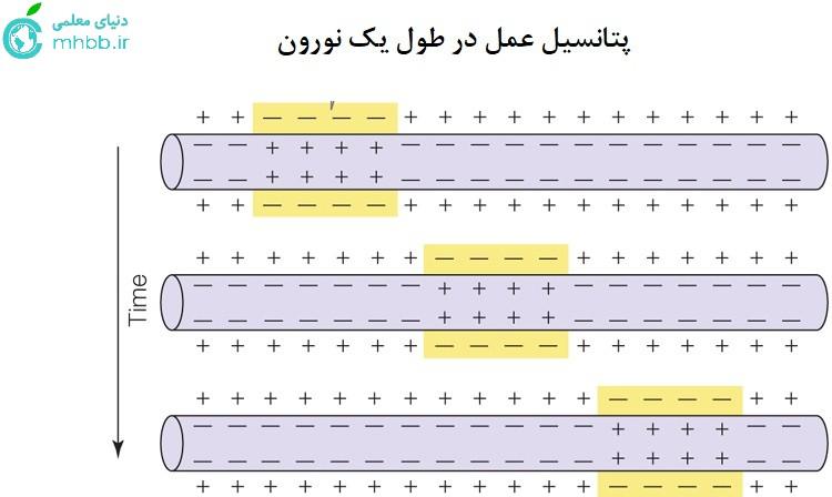 پتانسیل عمل در طول یک نورون