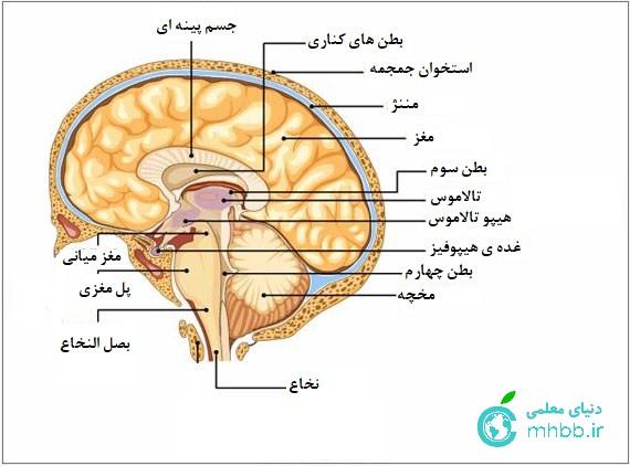 بطن های مغز
