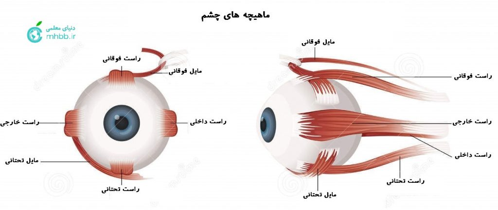ماهیچه های چشم