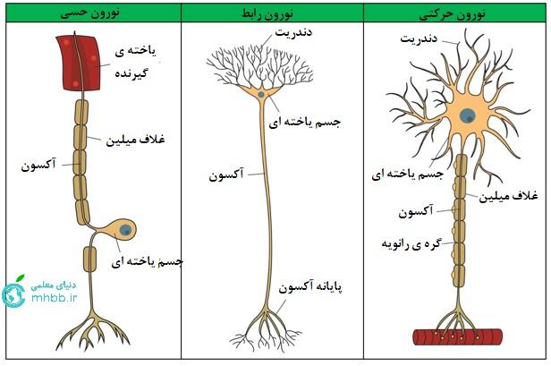 انواع یاخته ی عصبی بر اساس عملکرد