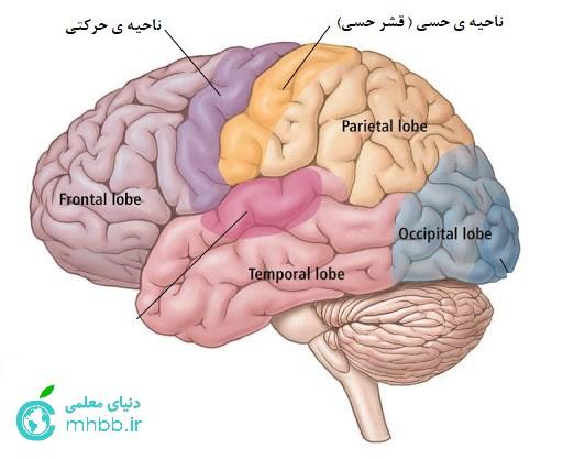 نواحی حسی و حرکتی مغز