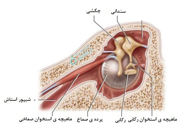 آناتومی گوش گوش پرده صماخ  استخوان های گوش میانی