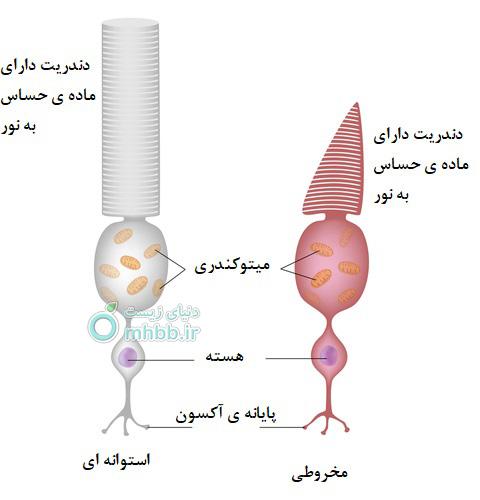 سلول استوانه ای و مخروطی